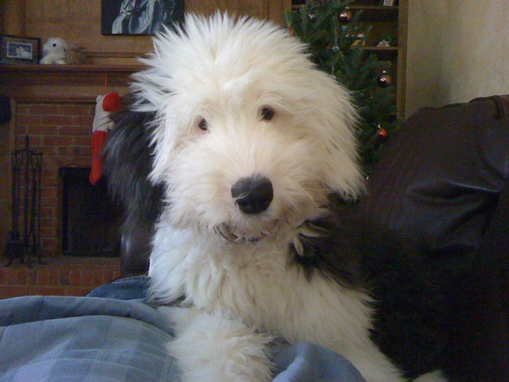 Ellie the Sheepdog