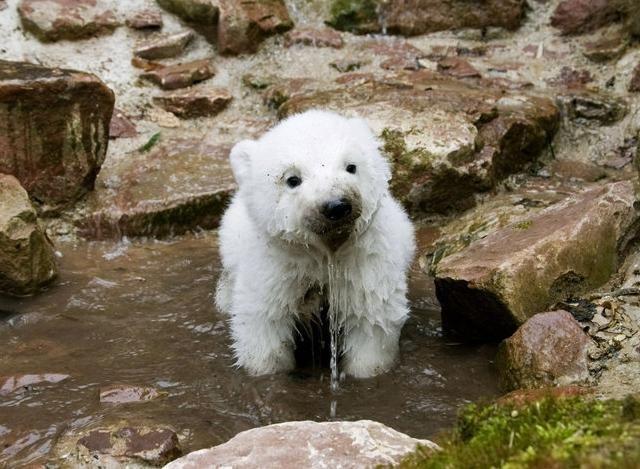 baby-polar-bear.jpg